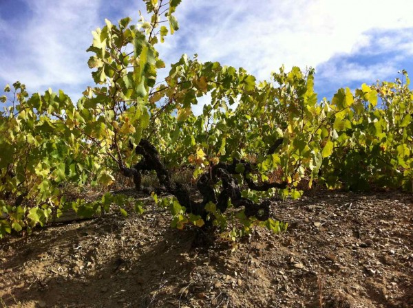 Weinbau in Banyuls