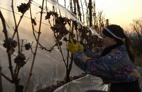 Eiswein Weinbereitung (Vinifikation)