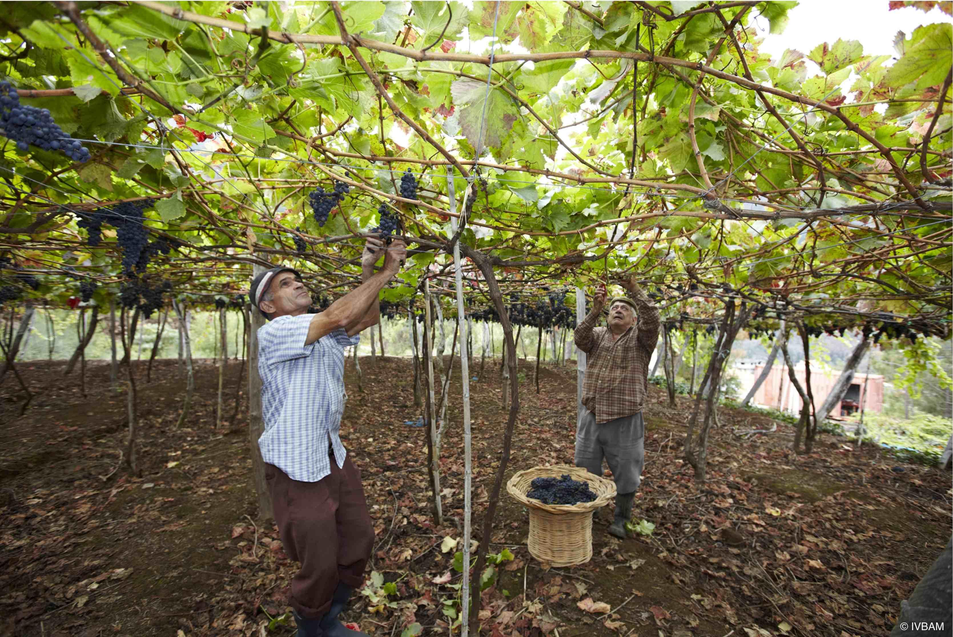 Weinbau Madeira