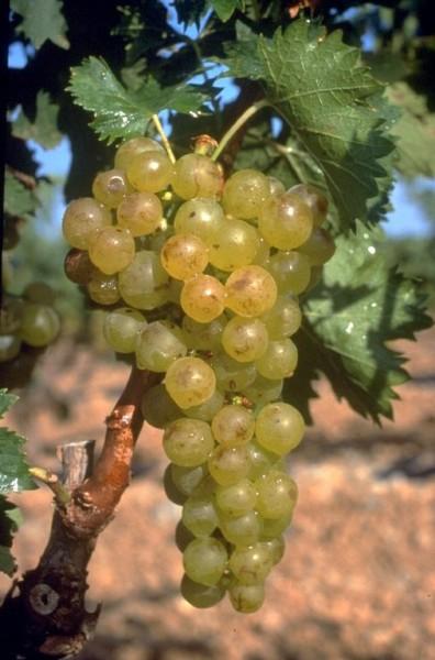 Muscat à petits grains blancs im Roussillon