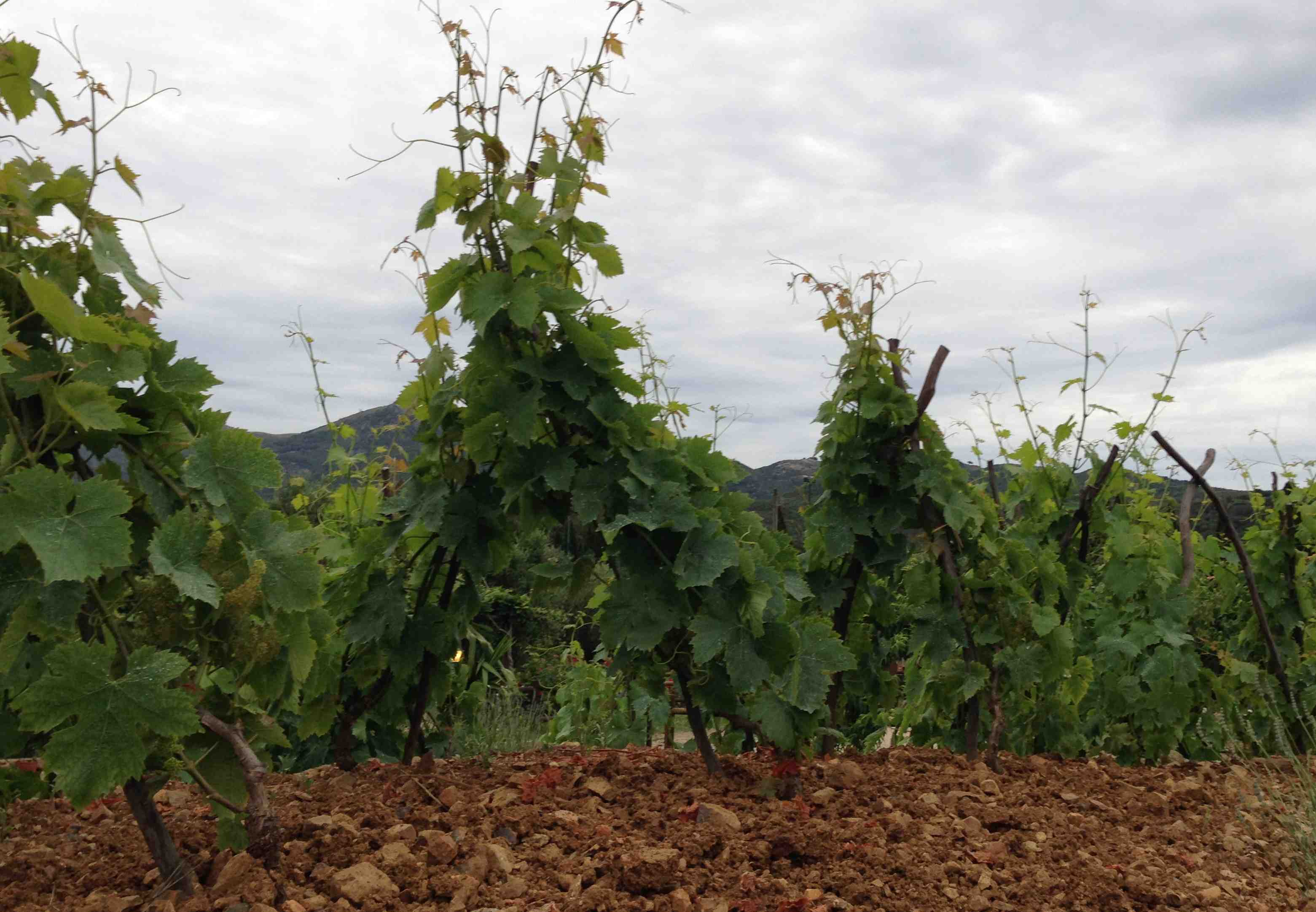 Traditionelle Weinerziehung Elba