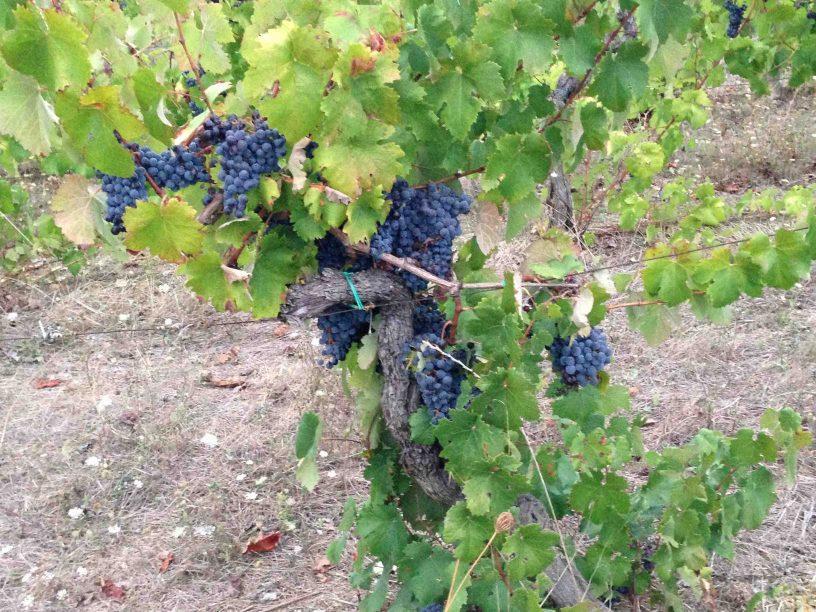 Rotweinreben auf Sardinien